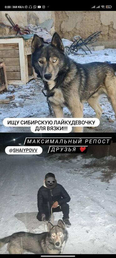 Ищу сибирскую лайку, девочку для вязки! Нарын!