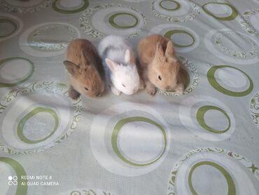 3263 elan | KƏND TƏSƏRRÜFATI HEYVANLARI: Ev dovşanı balaları satılır. Karlik(cırtdan) cinsi. Sağlam və