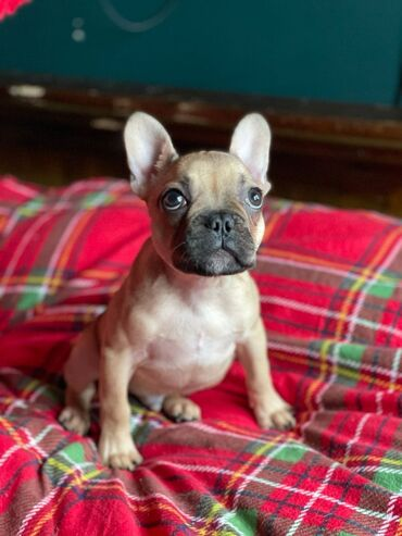 French Bulldog Puppies For Sale WhatsApp me +33  We have male and fema