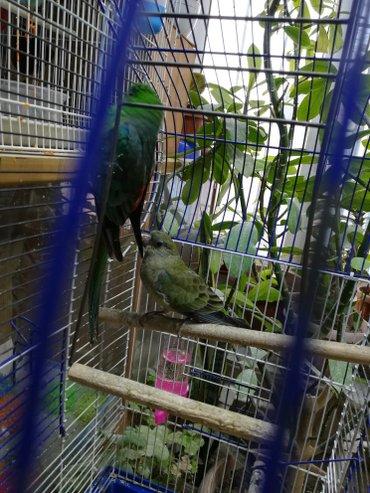 Певчие попугаи разные  в Сокулук - фото 2