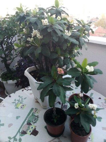 Kućne biljke | Srbija: Hristov trn, sobna biljka, cveta preko cele godine, cena manjih