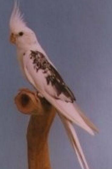 Птицы - Кыргызстан: Белощекие кареллы хорошо учатся говорить и приручаются к рукам а так
