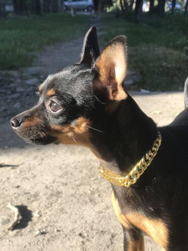 Золотой ошейник для собак и кошек