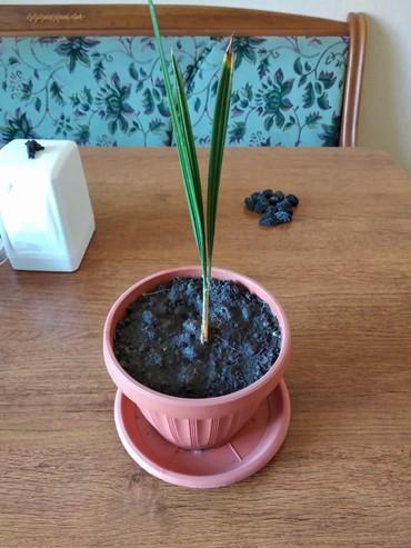 растение-комнатная в Кыргызстан: Финиковая пальма
