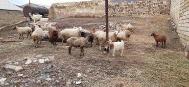 - Azərbaycan: 9eded ana qoyun1eded qoc hamısnın qarnında balası var 3 u bugun sabah