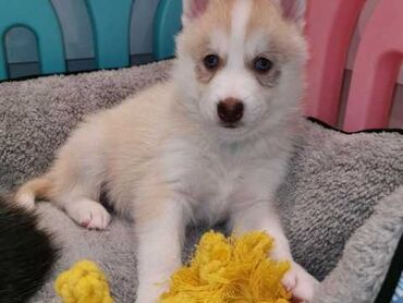 Siberian Husky PuppiesPure-Bred Siberian Husky Puppies Available!We