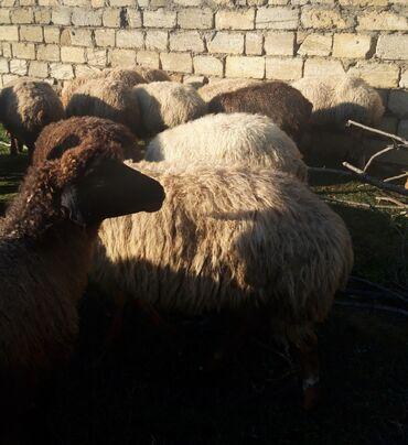 qoyunlar - Azərbaycan: Qoyunlar. Unvan Maştağa