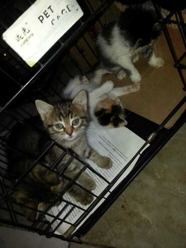 Heyvanlar - Azərbaycan: Бесплатно,котята отдаются в Любящую семью.Едят домашнюю еду.Игривые.К