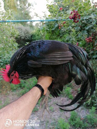 Alman motor yağları - Azərbaycan: Temiz qan Alman Astralop toyuqlarin yumurtasın satmiram sifariş ede