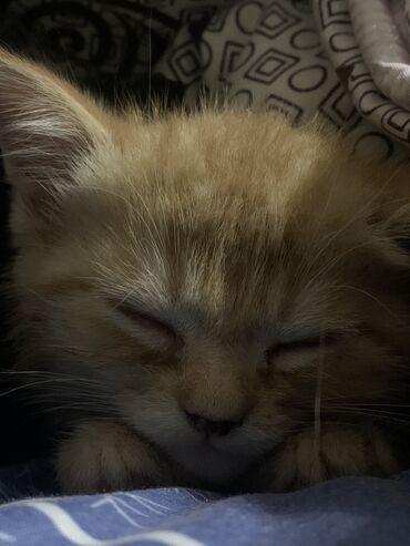 Коты - Кыргызстан: Котёнок 1,5месяцмальчикходит сам к лоткуигривый ласковый + сразу