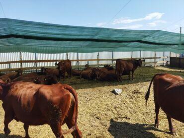 купить корову в бишкеке in Кыргызстан | КОРОВЫ, БЫКИ: Продаю | Корова (самка) | Для молока | Племенные, Стельные