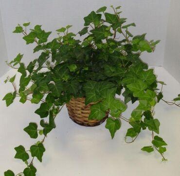 Комнатные растения в Кок-Ой: Куплю цветок называнием (плюшь) или отросток!