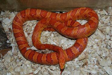 34 объявлений   ЖИВОТНЫЕ: Продаётся змея Маисовый полоз морфа Sunglow ручная