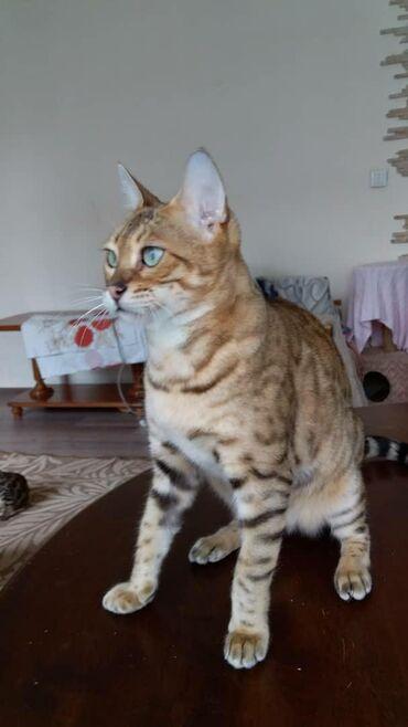 Карамелька 2года .Стерелизованная. бенгальская кошка .очень ласковая