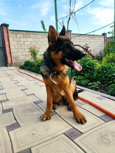 Продаю щенка немецкой овчарки (3,5 месяца) чепрачного окраса.Родители