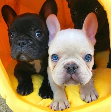 Adorable French bulldog puppies available for rehoming both genders