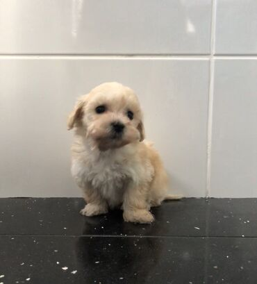 Μωρά Maltipoo Η μαύρη μινιατούρα poodle pixie μας έχει γεννήσει 3 όμορ