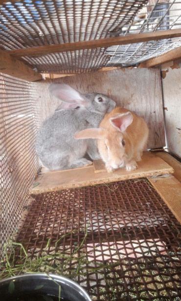Кролики породы:Ризен голд  в Токмак