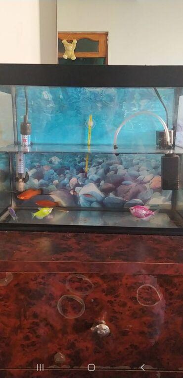 Akvarium tecili satilir.icinde rengli dawlari.termometri.su