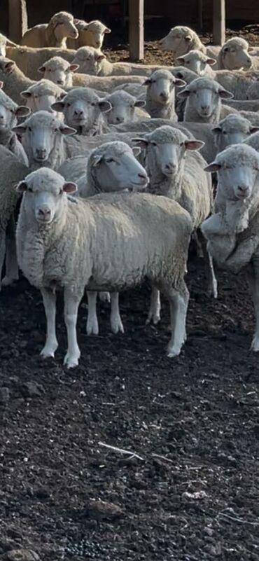 продажа аккаунтов инстаграм in Кыргызстан | SMM-СПЕЦИАЛИСТЫ: Продаю | Овца (самка) | Меринос | Для разведения | Матка