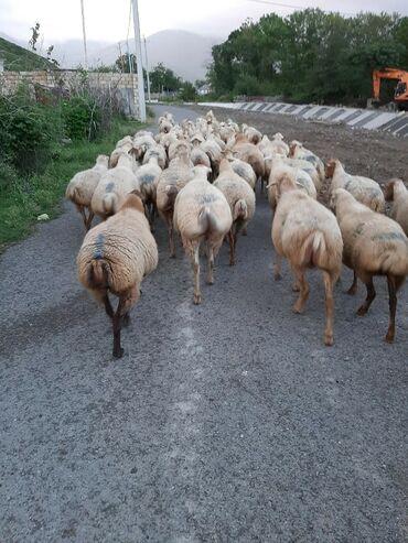 Tz dogulmuslar uecuen qoyun drisindn konvertlr - Azərbaycan: Qoyun satilir