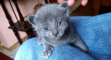 Plavo Rusko Mace Otac ove malene je Ruska Plava Macka, a ova mala je