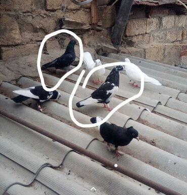 quwlar - Azərbaycan: Iware olunmuw quwlar satilir ikiside mayadi ikiside ucan quwdardi ag