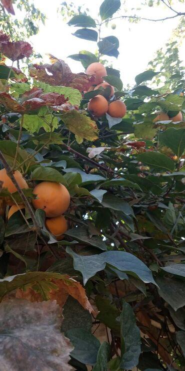Овощи, фрукты - Кыргызстан: Хурма алабыз, оптом. Г.Ош