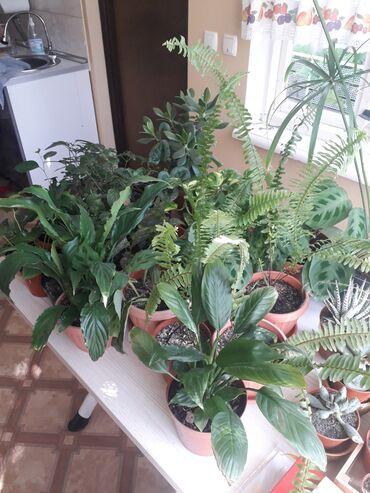 Другие комнатные растения - Кыргызстан: Комнатные цветы, разные. Только звонить
