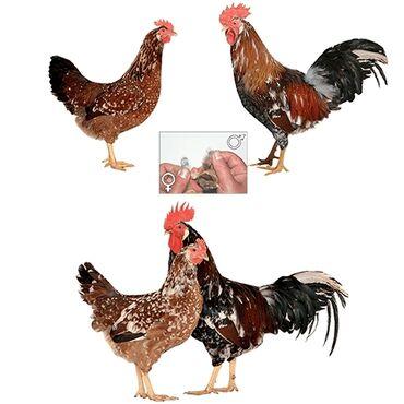 Животные - Кыргызстан: Продаю | Инкубационные яйца | На забой, Для разведения, Несушки
