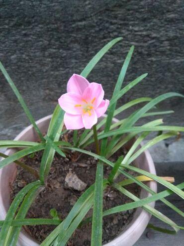 Продаю цветок Зефирантес (выскочка) розовую и белую