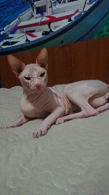 кошка сфинкс с шерстью в Кыргызстан: Донской сфинкс резинка на вязку