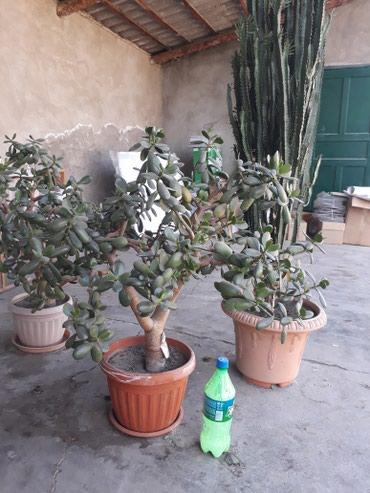 Денежное дерево, малочай выше 150 см, китайская роща и др. в Кок-Ой