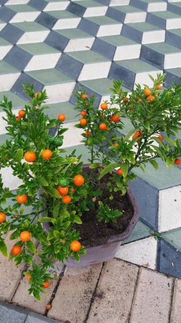 Ukrasne mandarine,radjaju i cvetaju od proleca do kasno u zimu,ovo su - Odzaci