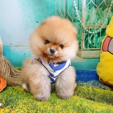pomeranian spitz satisi - Azərbaycan: Pomeranian Boo. Erkek. 2 ayliq. Sifarisle