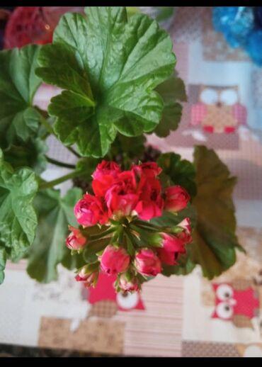 цветущую герань в Кыргызстан: Розабудная герань 50 сом