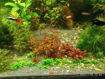 bitkilər - Azərbaycan: Akvarium bitkiləri
