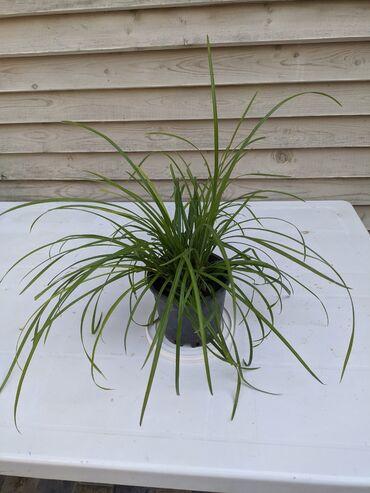 жидкое лезвие для педикюра в Азербайджан: Декоративное растение для дома