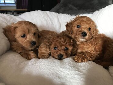 Toy Poodle Puppies For AdoptionWhatsApp me +33 Toy Poodle Puppies