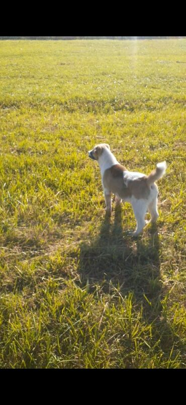 31 объявлений | ЖИВОТНЫЕ: Продаю чистокровного достойного щенка алабая бойцовских кровей очень