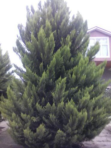 Lənkəran şəhərində Şam ağaclarin təki 600 azn-dir