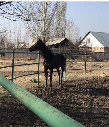 таблетки для роста в бишкеке in Кыргызстан   ПЛАТЬЯ: Продаю   Кобыла (самка)   Английская   Конный спорт   Племенные