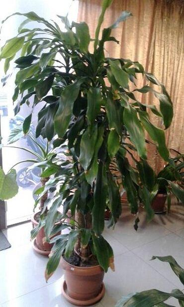"""Комнатный цветок """" пальма Юкка"""",высота 180 см"""