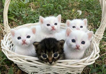 Продаю котят турецкой ангорки, чистая порода. Котята ухожены