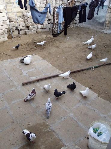 Sumqayıt şəhərində 13 quşdu təcili  satılır.Tərgizmə quşlardı