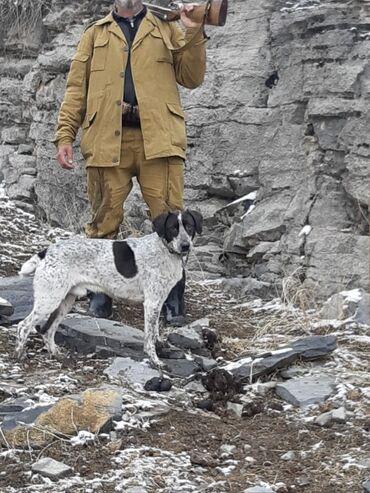 Продаётся хорошая породистая рабочая охотничья собака. Порода испонер