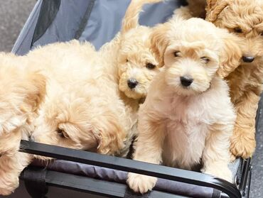 Roztomilé šteniatka GoldendoodleRoztomilé šteniatka Goldendoodle Na