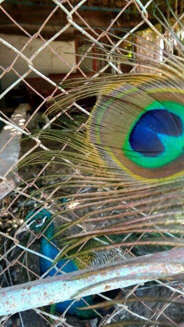 heyvanlar - Azərbaycan: 1 cüt tovuzquşu satilir feresi yumurtlayir heyvanlar şekilde