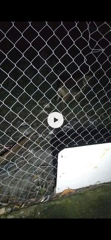 92 elan | HEYVANLAR: Cuburaska cox balaca gozel cubusdi axranasi gucludu cox ayiq sayiqdi