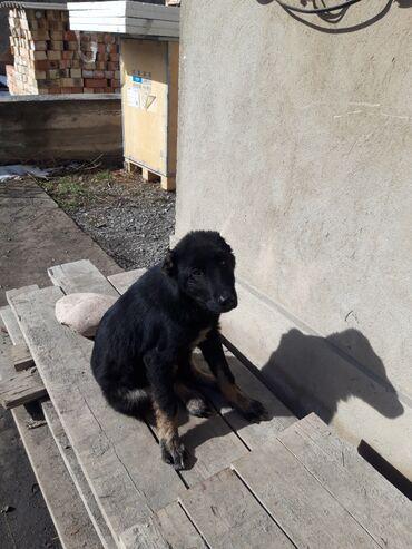 Животные - Кыргызстан: Алабай. 3 месяц. Есть документы